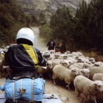 Sheep jam Ecuador